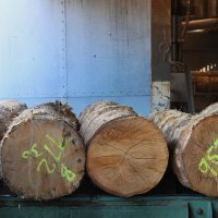 homegrown logs ready on the bandsaw for sawmilling